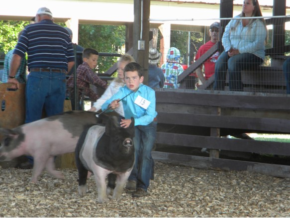 Pig Showing