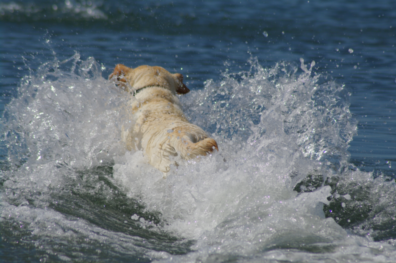 A yellow lab jumping in the water making a big slash