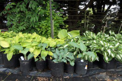multicolored hosta plants in pots
