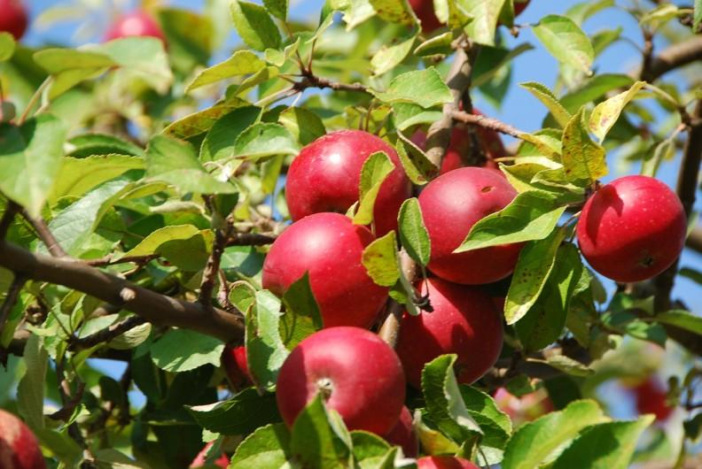 apple-tree-380196_1280