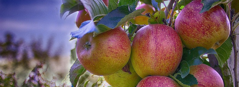apples-490475_1280