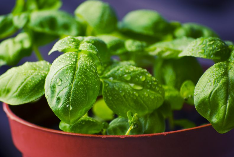Small basil plant.