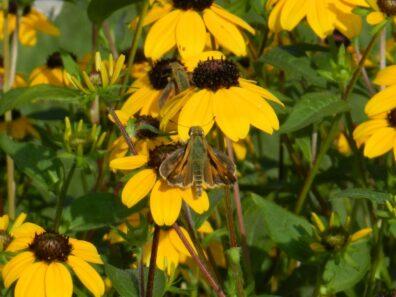 Pollinator on flowers. Photo credit Glen Allison