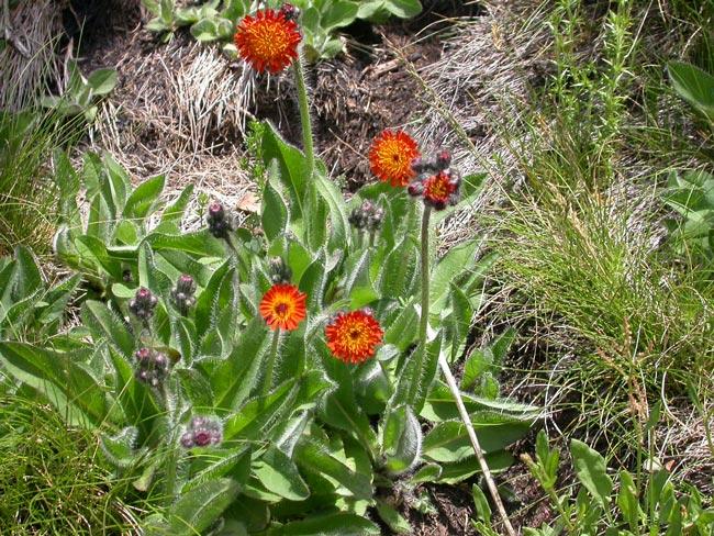Hieracium-aurantiacum-plant