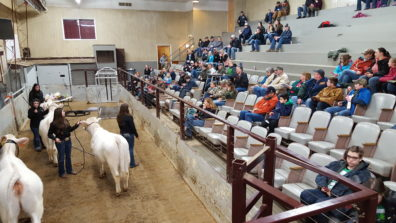 College students showing 4-H members how to judge steers