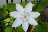 Clematis 'Henryii' Photo by Jason Miller