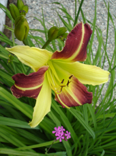 Daylily 'Lord Jeff' Photo by Jason Miller