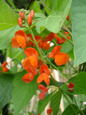 Scarlet Runner bean blossoms Photo by Jason Miller