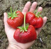 Strawberry 'Matrix' Photo by Jason Miller