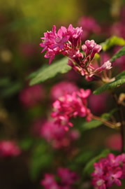 native_flowering_currant