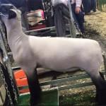 Market Lamb on stand
