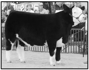 Steer Showmanship - foot-placement