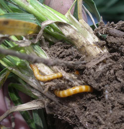 wireworms in the soil at the base of a growing wheat plant