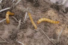 Wireworms in Traps