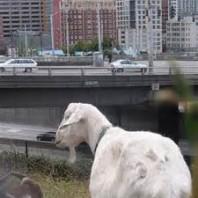 downtown goat