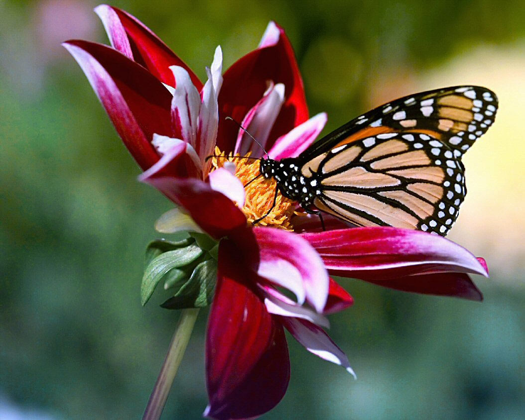 Beautiful Flowers And Butterfly Wallpaper Jefferson County