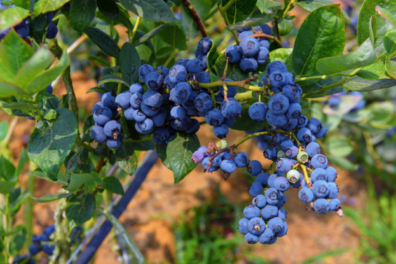 ripe blueberry bushes on a farm