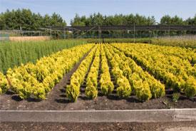This nursery in Holland is raising Hinoki cypress (Chamaecyparis lawsoniana 'Minema Aurea') prior to being potted.