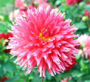 Selecting and viewing cut flowers such as dahlias are a popular consumer activity in the fall months.