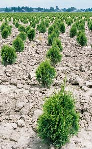 Field grown nursery stock (arborvitae) being raised in the Woodland Bottoms area for the wholesale market.