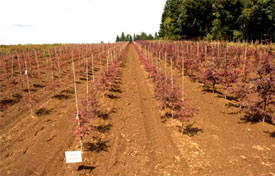 """Japanese maples are typically grown for 5–6 years before they are large enough for sale. Field grown stock typically grows 12"""" per year. These are 'Garnet' lace-leaf maples."""