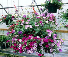 Greenhouse growers find that hanging baskets can be a lucrative item for sale to condominium and apartment owners.