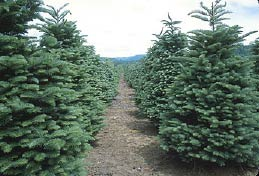 A healthy stand of 7'–8' Noble firs ready for harvest. Note the excellent shearing and good weed control.