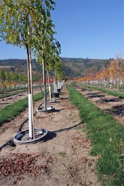 Pot in pot nursery production utilizing 25 gallon socket pots on sloping ground