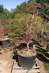 Landscape full size dissected Japanese maples sell well to the households with the higher incomes. Still, it takes salesmanship in order to move them out of the nursery.