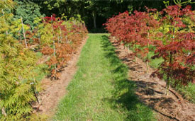 Cover crops planted between the rows of these Japanese maples helps reduce soil erosion on this steeper site.
