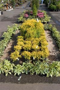 "This nice display of Golden Threadleaf Falsecypress (Chamaecyparis pisifera ""Filifera Aurea') has plants of different sizes all arranged in an attractive array."