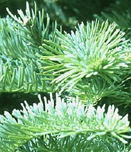 Noble fir has become the most important Christmas tree species in the Northwest. It can only be grown successfully west the Cascades as it needs a mild moist climate.