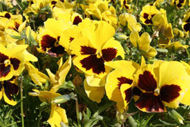 Bedding plants sales are a major component of the sales at the big box stores.