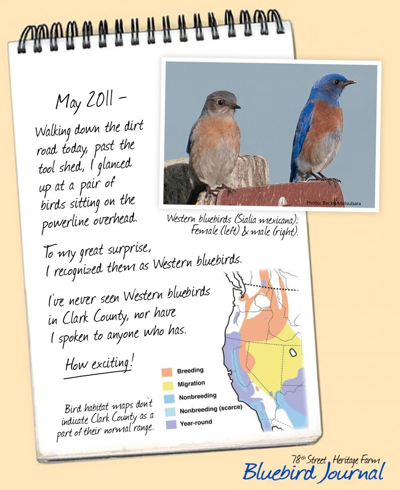 Bluebird Journal May 2011. Discovered bluebirds, but puzzled they are out of their normal range. Photos of bluebirds and range map.