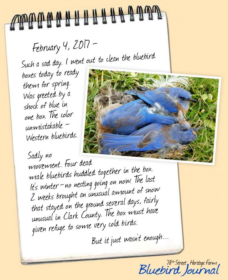 Bluebird Journal Feb. 4, 2017. Found 4 dead male birds in nesting box.