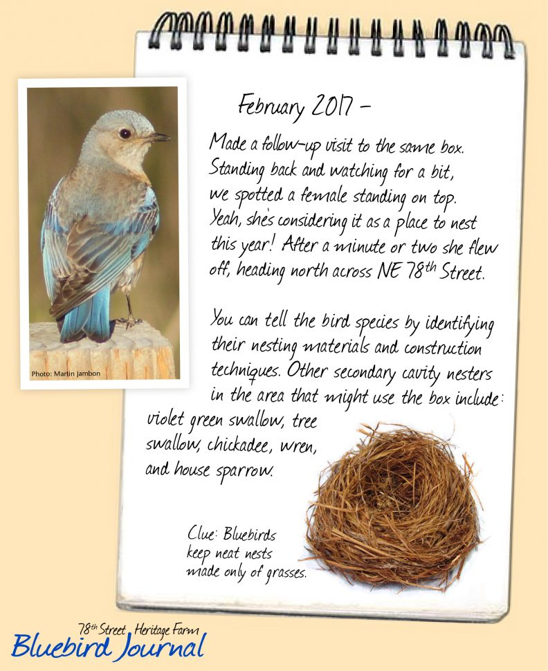 Bluebird Journal Feb. 2017. Spotted a female, but she flew off. Identify bluebird nest because they are made exclusively of grass. Photo of female bird and nest.