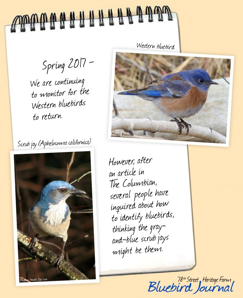 Bluebird Journal Spring 2017. Monitoring birds. Recent Columbian article noting confusion between bluebirds and scrub jays. Photos of male bluebird and scrub jay.