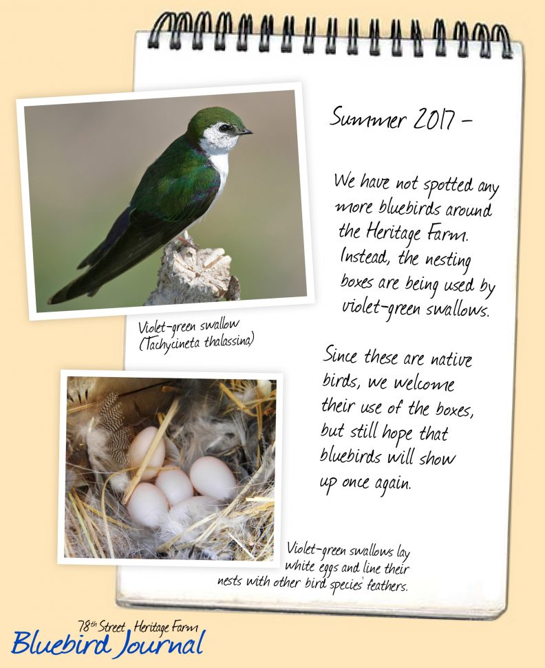 Bluebird Journal Summer 2017. Violet-green swallows are using the nesting boxes instead of bluebirds. Allowing it since they are native birds. Photos of swallow and their nest with white eggs.