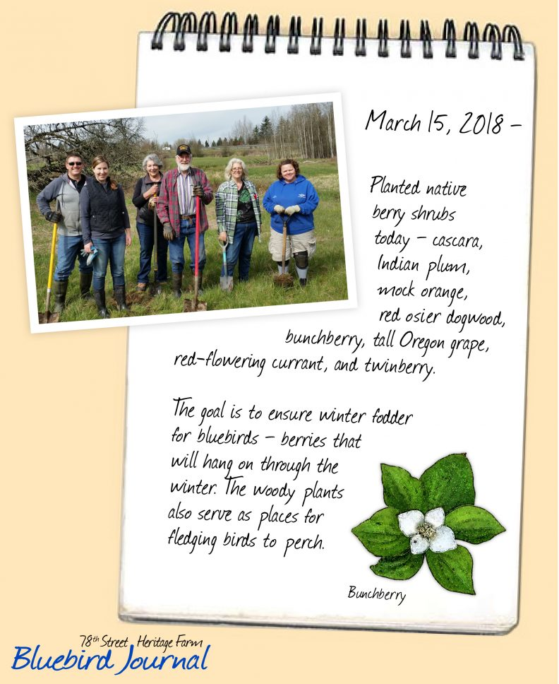 Bluebird Journal March 15, 2018. Planted native berry shrubs to create better bluebird habitat. Photo of planting team and illustration of bunchberry.
