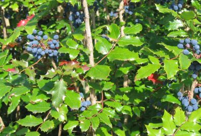 Green holly-like leaves and blue berries of tall Oregon grape.