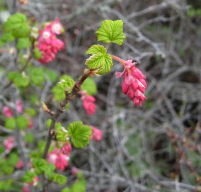 Pink flowers of red-flowering current with bright green leaves.