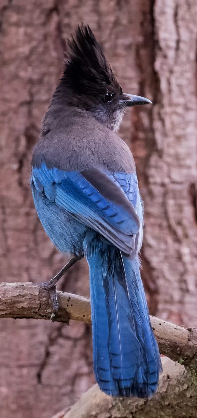 Stellar's jay. Blue body with black crest, head and shoulders.