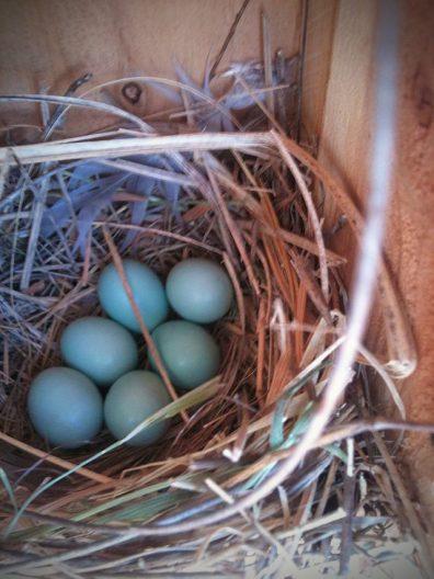 Bluebird nest with blue eggs.
