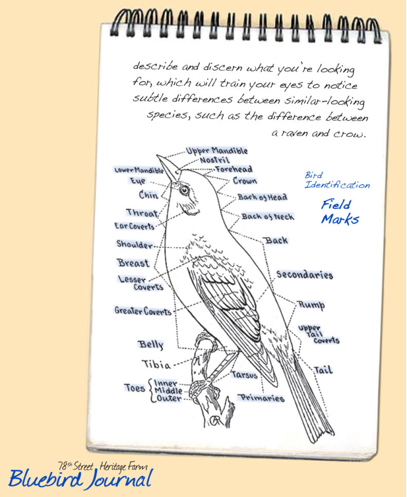 Bluebird Journal November 2018. More text about typical field mark terms and a drawing showing parts of a bird the terms belong to.