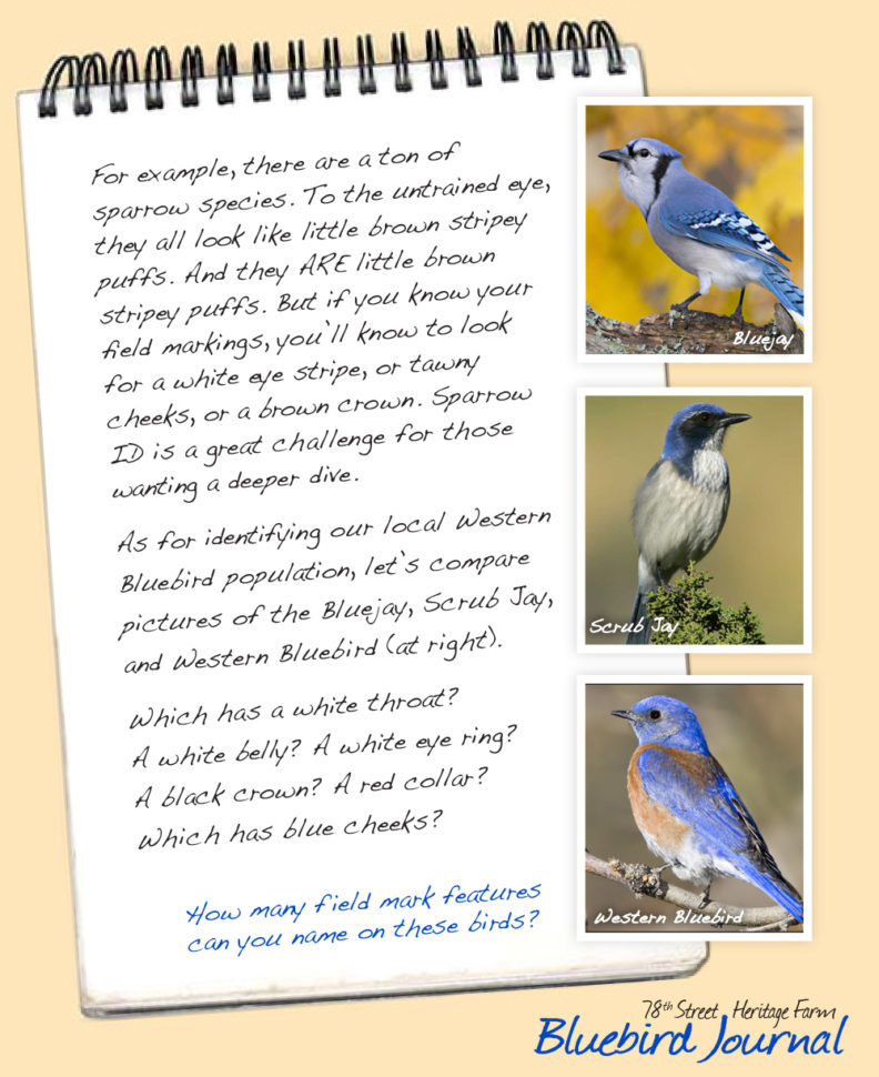 Bluebird Journal November 2018. Last page of this entry about field notes; photos of blue jay, scrub jay, western blue bird.