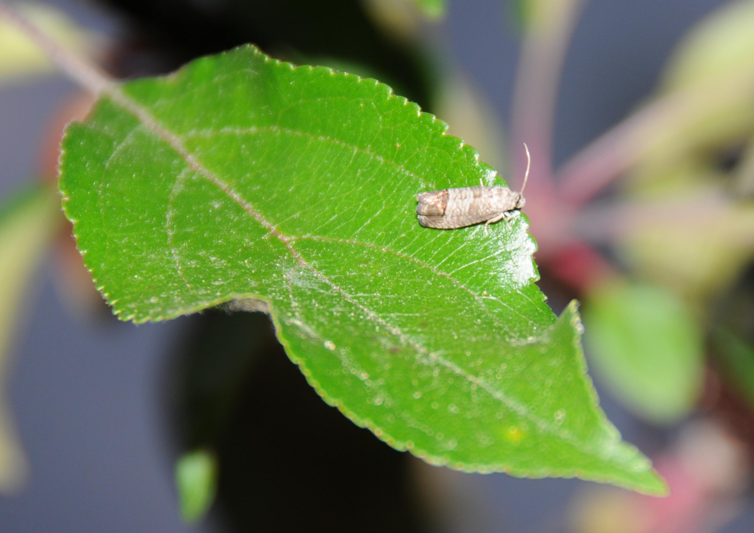 Adult Codling Moth Resting on Crabapple Leaf