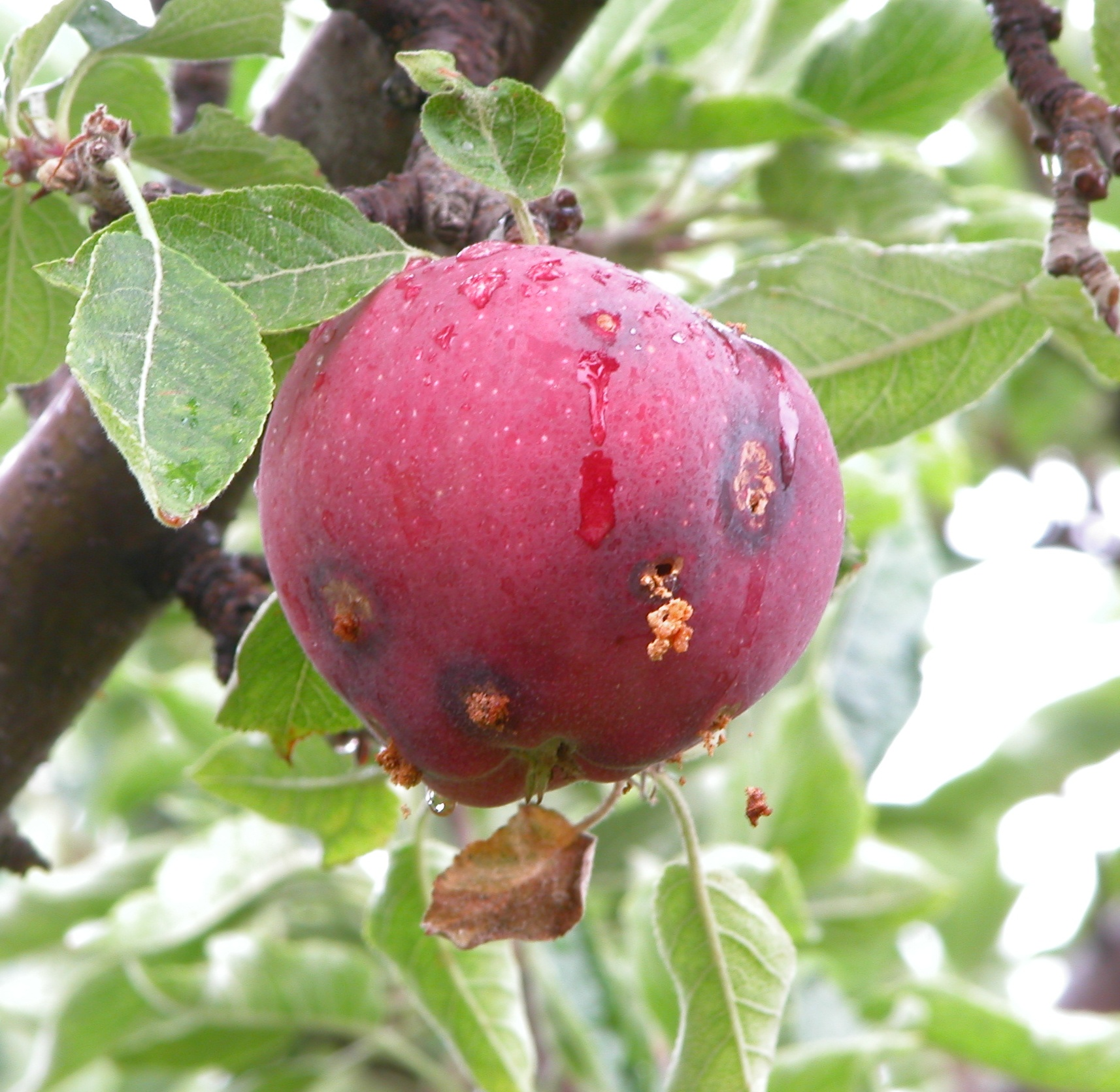 Backyard Fruit Tree Pests | Yakima County | Washington ...