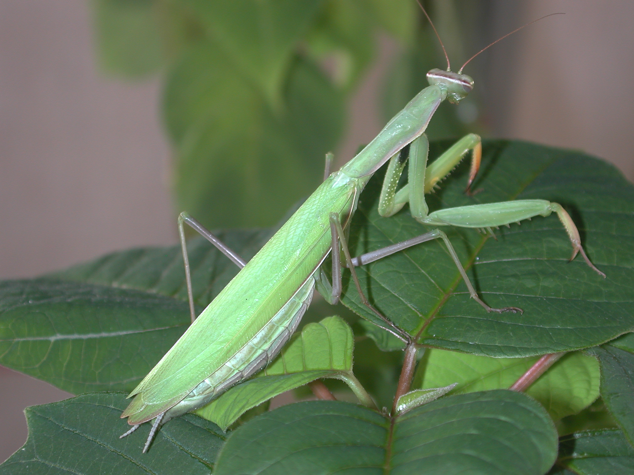 Praying mantis = Mantis religiosa