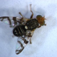 Cherry-fruit-fly-adult74a