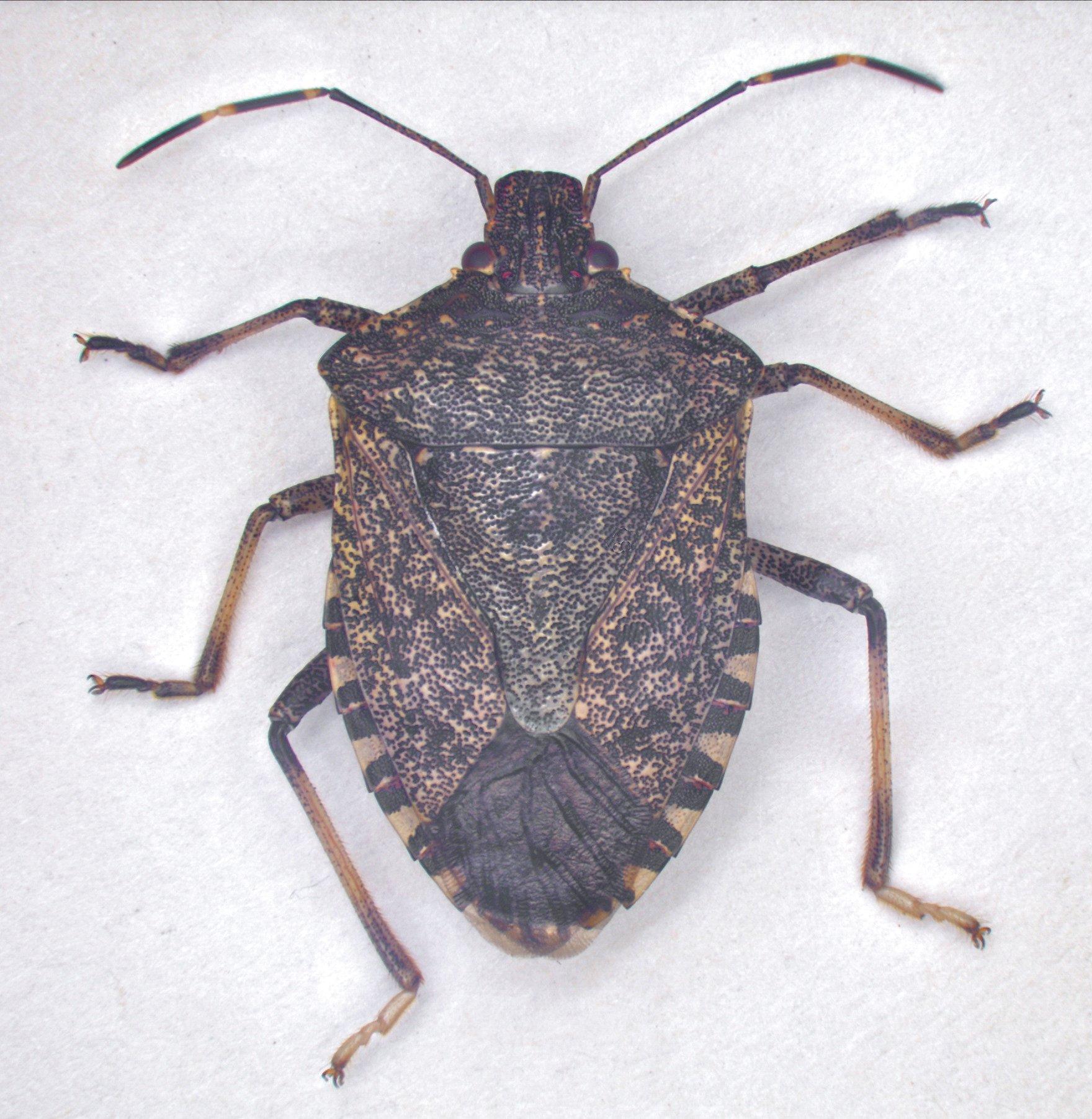 Invasive pests yakima county washington state university stink bugs still at large in washington state sciox Images